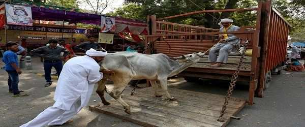 Men load a cow onto a truck in the Jantar Mantar area of New Delhi