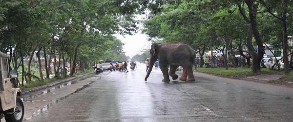 GUWAHATI, AUG 20 (UNI)- A wild elephant crosses the NH-37 at Beharbari in Guwahati on Thursday. UNI PHOTO-23U