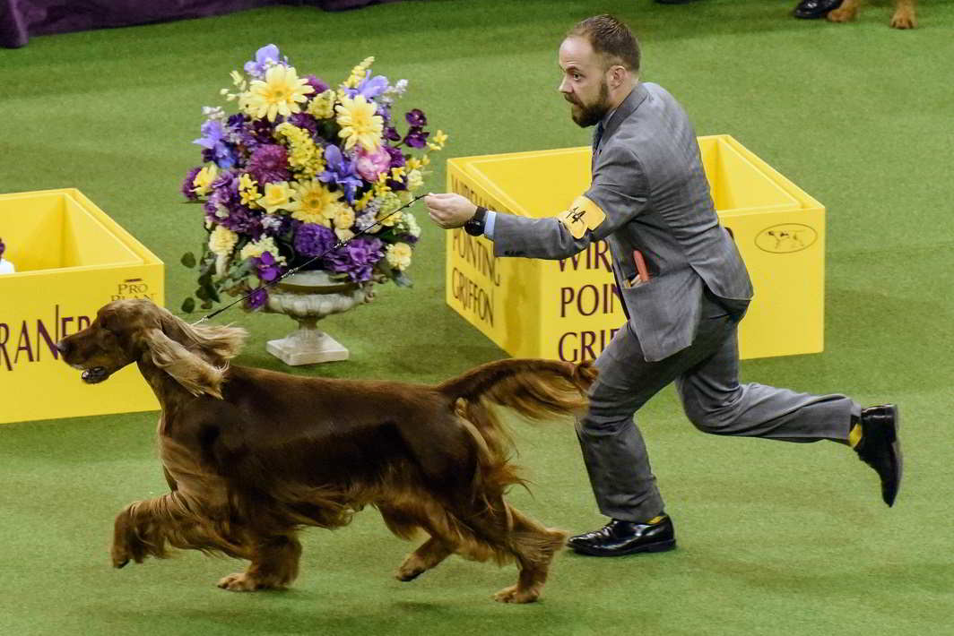 TALENT HUNT: Vermillion's Sea Breeze, an Irish setter, wins the sporting group at the 141st Westminster Kennel Club Dog Show, in New York City, Reuters/UNI