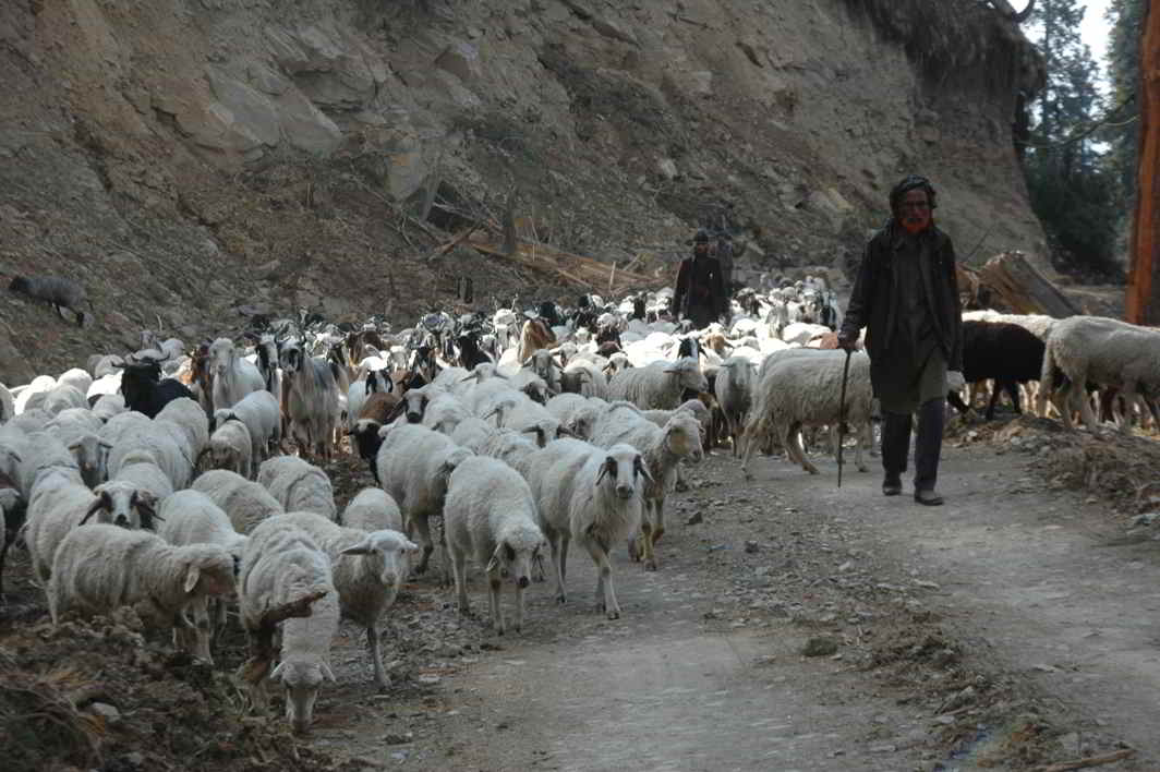THE LONG WALK HOME: Bakarwal shepherds on way to higher hills of the Bhaderwah Valley as part of their seasonal migration from the hot plain of Jammu region, UNI