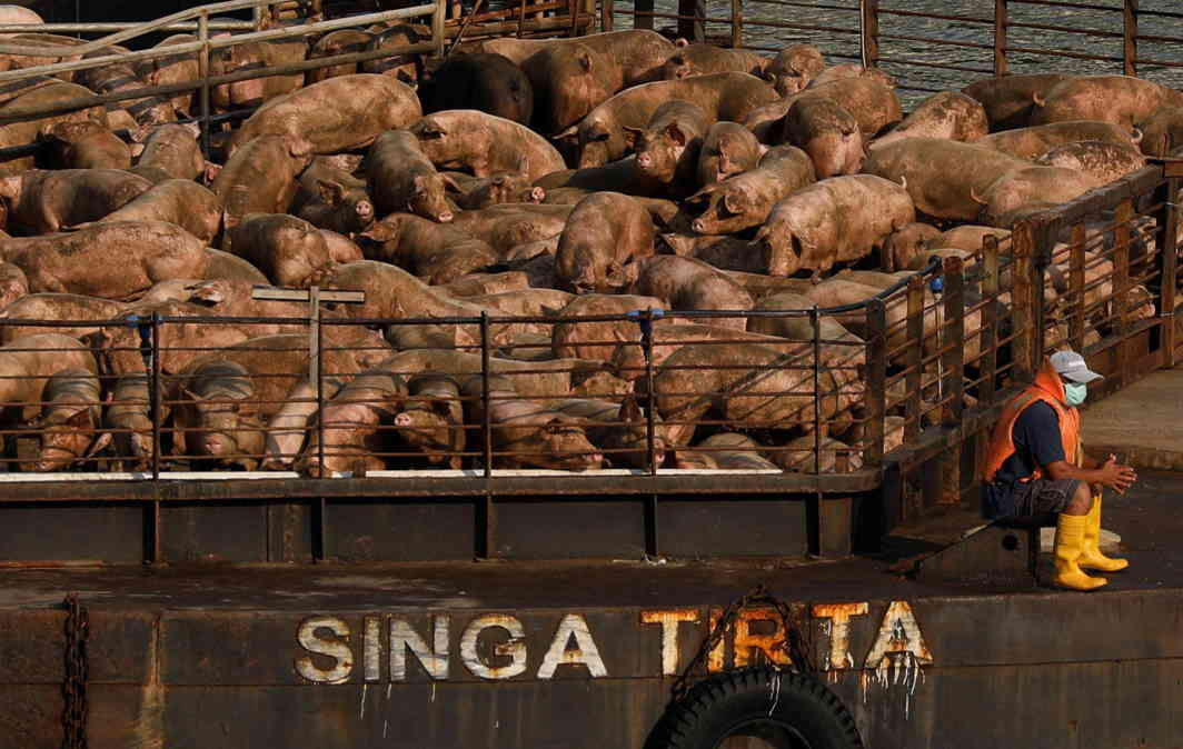SWINE TO THE SLAUGHTER: A barge carrying pigs from Pulau Balan, Indonesia, enters the riverway to a slaughterhouse in Singapore, Reuters/UNI