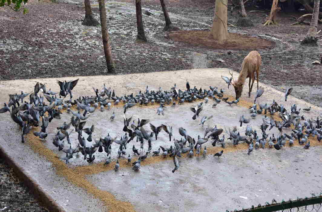 PEACE DESCENDED: A flock of doves encroach on the enclosure of deer at Thiruvananthapuram Zoo, UNI