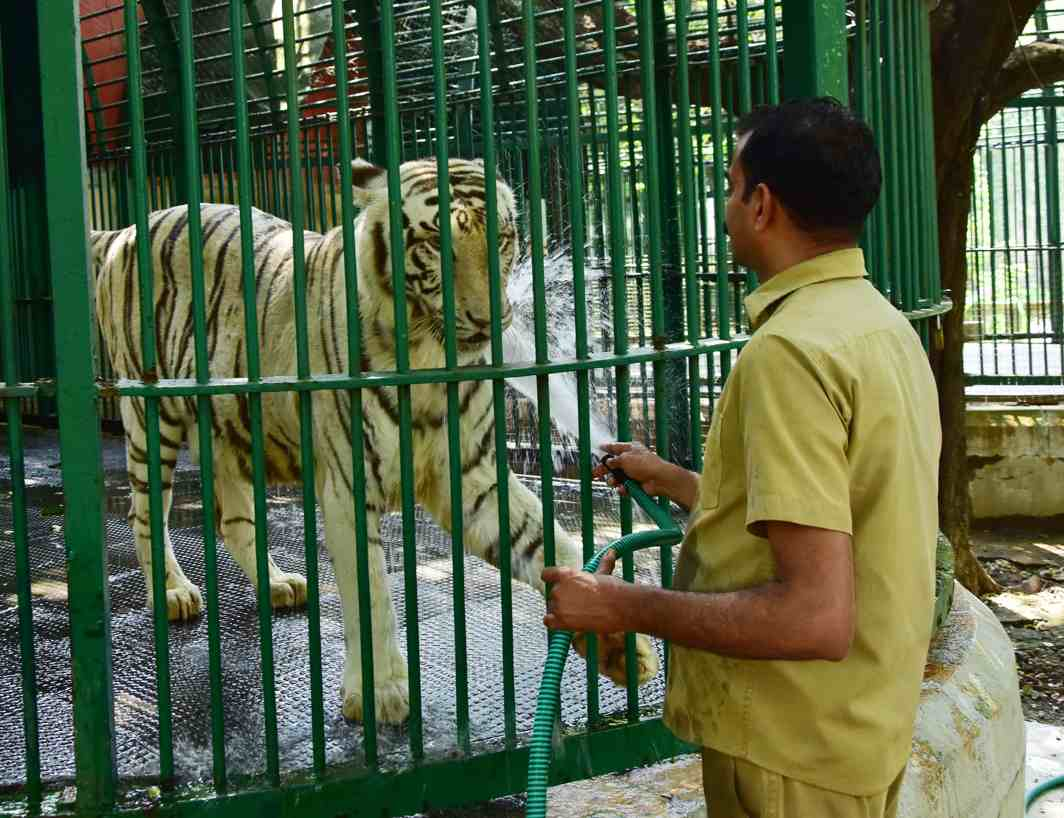 BE COOL: A zookeeper sprays water on a white tiger at the zoo in Thiruvananthapuram, UNI