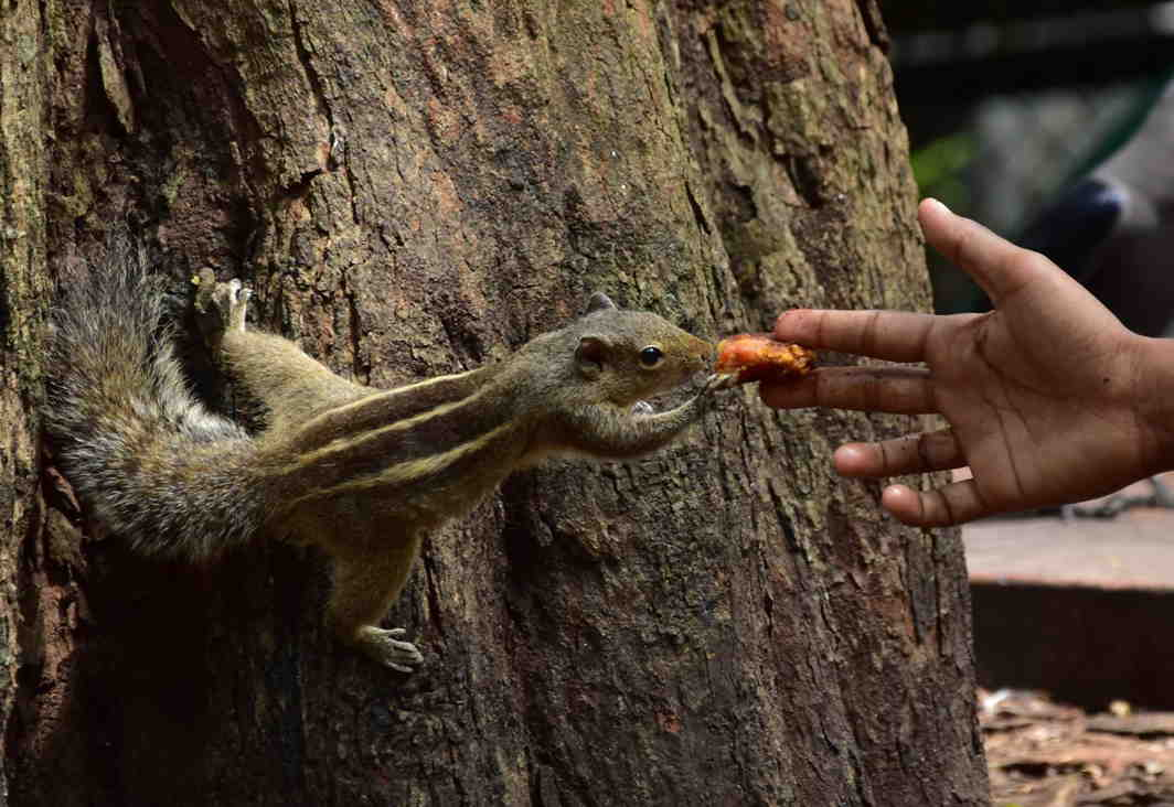 NATURE'S BOUNTY: A visitor feeds a squirrel at the Thiruvananthapuram Zoo, UNI