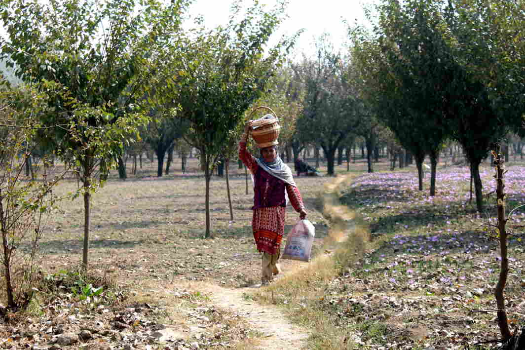 GRAVY TRAIL: A village woman carries meals for the family members working at an orchard tin Chattergam in Dadgam district in central Kashmir, UNI