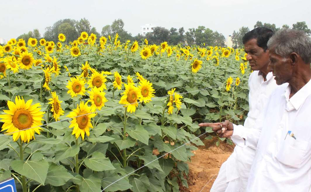 LONGING FOR THE SUN: Farmers take a look of blooming sunflowers at the three-day annual Krishi Mela 2017, at GKVK campus, in Bengaluru, UNI