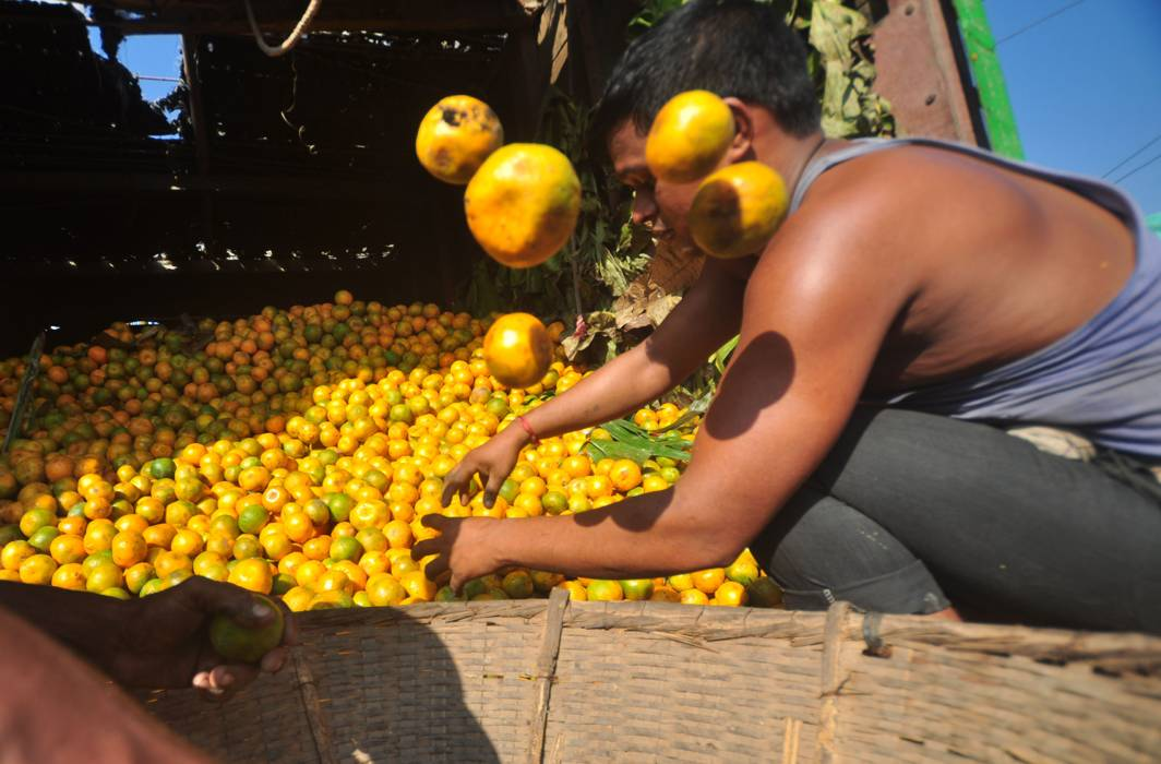 THERE YOU GO: A man sorts oranges that arrived from the groves of Jampui Hills in North Tripura at a market in Agartala, UNI