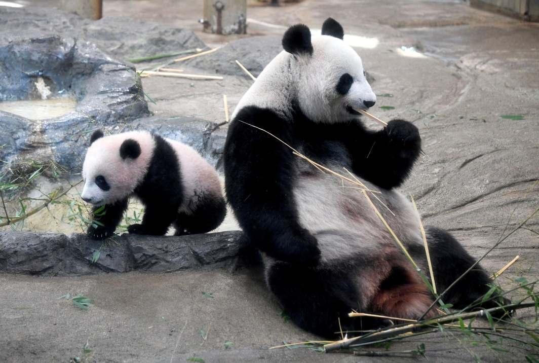 NEW ARRIVAL: Giant panda cub Xiang Xiang (left) walks beside her mother Shin Shin at Ueno Zoo in Tokyo, Reuters/UNI