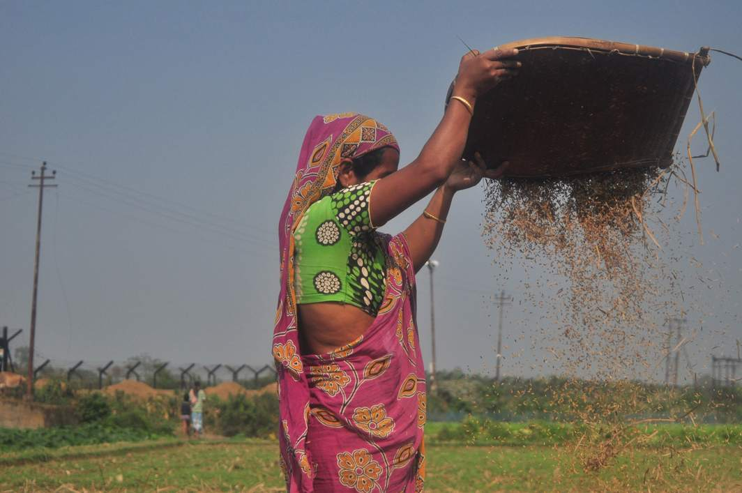 ALL IN A DAY'S WORK: A woman cleans threshed paddy in her field on the outskirts of Agartala, UNI