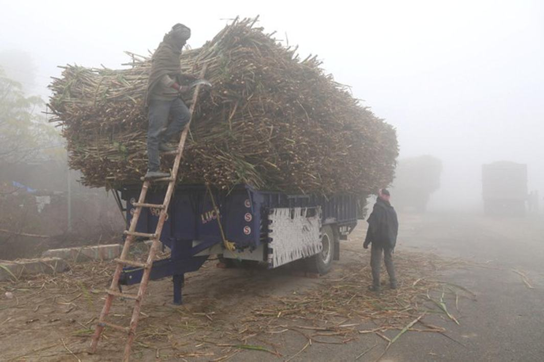 CHORES AT DAWN: A farmer cuts dried-up sugarcane loaded on a parked trolley alongside a road on a foggy winter morning in Jalandhar, India, Reuters/UNI