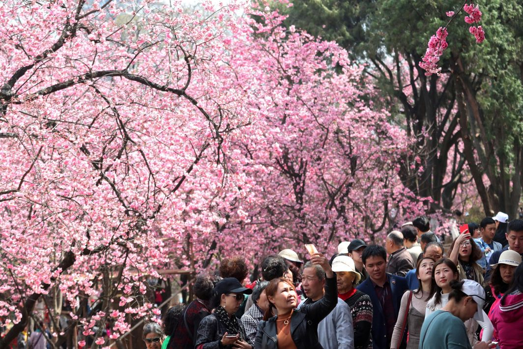 SPRING MAGIC: People walk under cherry blossoms in Kunming, Yunnan province, China, Reuters/UNI