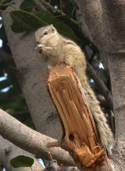 NEW DELHI, DEC 29 (UNI):- A Squirrel enjoying on the tree in New Delhi on Thursday.UNI PHOTO-