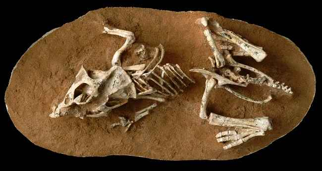 hatchling Protoceratops andrewsi fossil